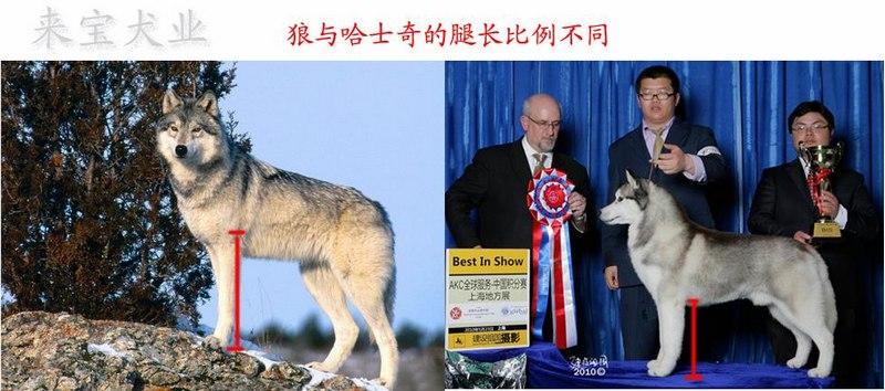 哈士奇,Stop(脸上的凹点)-stop十分明显,从stop到末端的鼻梁笔直。(如图)  狼:狼需要在野外狩猎,是标准的猎人。所以,他们需要有强壮的脖子,厚实的下颚,这样咬住猎物后,不容易被猎物挣脱,或损伤自己。狼的犬齿更有5.7厘米长。咬合力更是惊人的达到105kg每平方厘米, 是德国牧羊犬的两倍,哈士奇的三倍。 哈士奇,标准的人类公仆,是雪地中的交通工具。所以,他的前胸强壮,(为了拖拽小车子在雪地上行走)下颚单薄。犬齿只有3.